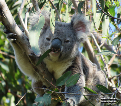 Winter - a male koala in 2018