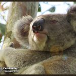Male wild koala in forest red gum tree