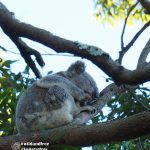 wild male koala sleeping in bloodwood