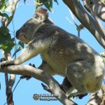 wild male koala climbing through a forest red gum tree showing how an arboreal animal lives