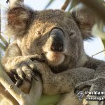 Hugo is a male wild koala around 3 years old