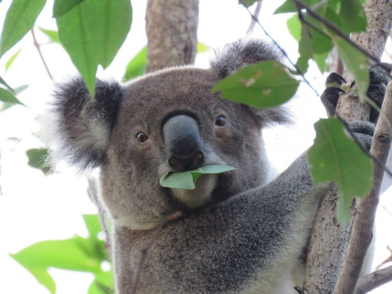 Jordan eating eucalyptus leaves
